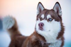 西伯利亚爱斯基摩人狗纵向 免版税库存图片