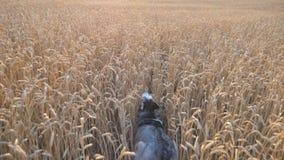 西伯利亚爱斯基摩人狗背面图快速地跑通过金黄小尖峰的在日落的草甸 年轻家畜跑步 影视素材