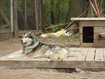 西伯利亚爱斯基摩人狗身分在围场 免版税图库摄影