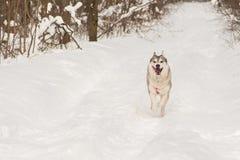 西伯利亚爱斯基摩人狼狗在冬天森林里室外在雪 库存图片