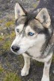 西伯利亚爱斯基摩人画象与蓝眼睛的 免版税库存图片