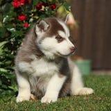 西伯利亚爱斯基摩人美丽的小狗在庭院里 库存图片