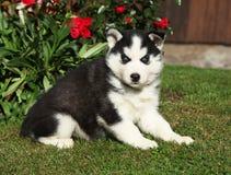 西伯利亚爱斯基摩人美丽的小狗在庭院里 库存照片