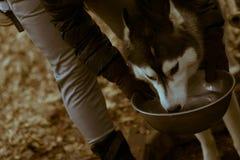 西伯利亚爱斯基摩人饮用水在位于代代木公园的一个普遍的狗区域,东京,日本 库存照片