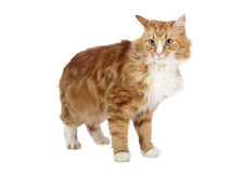 西伯利亚猫(布哈拉猫) 库存照片