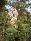 西伯利亚猫头鹰腹股沟淋巴肿块腹股沟淋巴肿块在森林里 库存照片