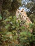 西伯利亚猫头鹰腹股沟淋巴肿块腹股沟淋巴肿块在森林里 免版税图库摄影