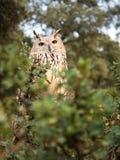 西伯利亚猫头鹰腹股沟淋巴肿块腹股沟淋巴肿块在森林里 免版税库存照片
