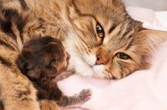 西伯利亚猫 免版税库存照片