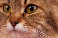 西伯利亚猫 免版税图库摄影