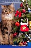 西伯利亚猫 库存照片