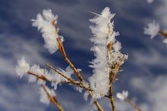 西伯利亚的佐仓 冬天花 图库摄影