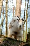 西伯利亚石山羊 免版税库存图片