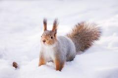 西伯利亚红松鼠在寻找食物的冬天森林 库存照片