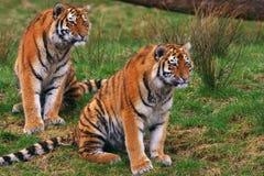 西伯利亚老虎二个年轻人 免版税图库摄影