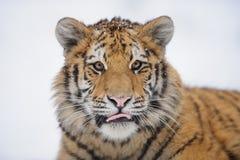 西伯利亚老虎冬天 库存照片