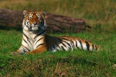 西伯利亚老虎年轻人 库存图片