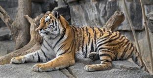 西伯利亚老虎年轻人 免版税库存照片