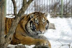西伯利亚老虎 库存照片