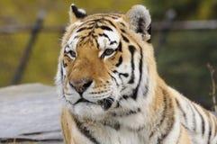 西伯利亚老虎 免版税库存照片