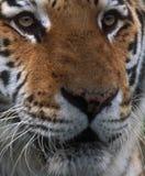 西伯利亚老虎 免版税库存图片