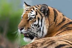 西伯利亚老虎 免版税图库摄影