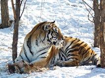 西伯利亚老虎 图库摄影