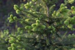 西伯利亚自然:在温暖的太阳下的年轻云杉 免版税图库摄影