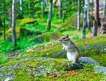 西伯利亚花栗鼠花鼠属sibiricus后腿坐一块生苔石头 库存图片