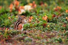 西伯利亚花栗鼠 免版税库存图片