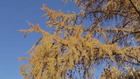 西伯利亚落叶松属黄色分支  影视素材