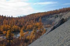 西伯利亚落叶松属taiga在北部的秋天 库存图片