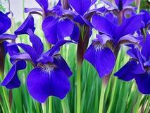 西伯利亚虹膜:紫色可爱的树荫  免版税库存照片