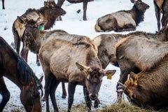 西伯利亚雄鹿在封入物 二者择一地 俄国 免版税图库摄影