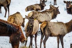 西伯利亚雄鹿在封入物 二者择一地 俄国 免版税库存照片