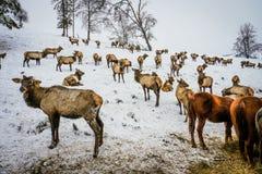 西伯利亚雄鹿在封入物 二者择一地 俄国 库存图片