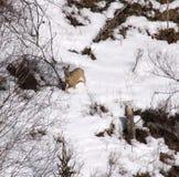 西伯利亚雄鹿 库存照片
