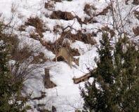 西伯利亚雄鹿 库存图片