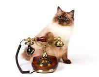 西伯利亚颜色点的猫wirh电话 库存照片