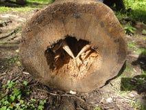 西伯利亚,布里亚特共和国, Arshan村庄,森林,昆虫吃的击倒的树,木研磨机, 2012年8月21日 图库摄影