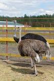 西伯利亚 在农场的非洲驼鸟 免版税库存图片