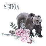 西伯利亚 熊是棕色的 背景查出的白色 免版税库存照片