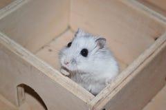 西伯利亚仓鼠 库存图片
