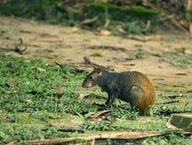 巴西刺豚鼠 图库摄影