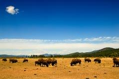 西北的水牛 库存照片