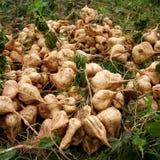 西印度豆薯 库存图片