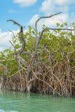 西安的钾生物圈的美洲红树树干' 库存图片