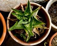 从西开普省的多汁植物,南非 免版税库存照片