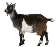 西方公用法国的山羊 免版税库存图片