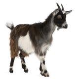 西方公用法国的山羊 库存照片